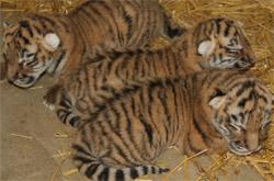 nieuws-3-tijgers
